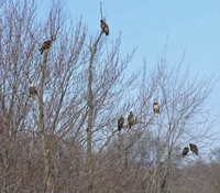 Eagles in early spring along Illinois river banks
